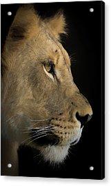 Portrait Of A Young Lion Acrylic Print by Ernie Echols