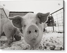 Portrait Of A Young Pig. Property Acrylic Print by Joel Sartore