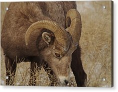 Portrait Of A Young Ram Acrylic Print