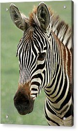 Portrait Of A Zebra Acrylic Print by Barbara  White