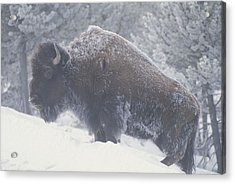Portrait Of An American Bison Acrylic Print by Michael Melford