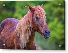 Portrait Of An Assateague Pony Acrylic Print by Rick Berk