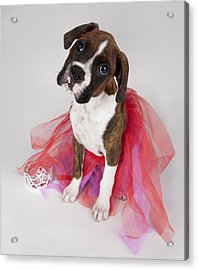Portrait Of Dog Wearing Tutu Acrylic Print by Leah Hammond