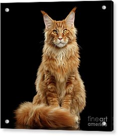 Portrait Of Ginger Maine Coon Cat Isolated On Black Background Acrylic Print