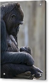 Portrait Of Gorilla Mother Looking Acrylic Print by Karine Aigner