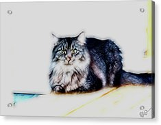 Portrait Of Maine Coon, Mattie Acrylic Print by Gina O'Brien