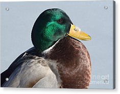 Portrait Of Mallard Duck Drake With Feather Acrylic Print by Merrimon Crawford