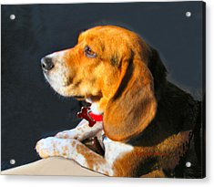 Portrait Of Pebbles - The Independent Beagle Acrylic Print