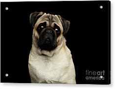 Portrait Of Pug Acrylic Print