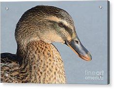 Portrait Of Rouen-mallard Mixed Breed Duck Hen Acrylic Print by Merrimon Crawford