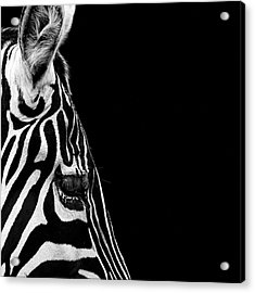 Portrait Of Zebra In Black And White Iv Acrylic Print by Lukas Holas
