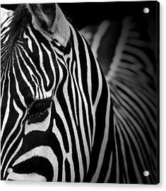 Portrait Of Zebra In Black And White V Acrylic Print by Lukas Holas