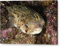 Porupinefish Close-up Portrait Sleeping Acrylic Print by James Forte