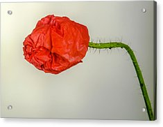 Posing Fire Red Poppy Acrylic Print