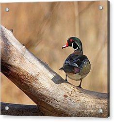 Posing Wood Duck Acrylic Print