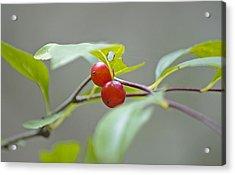 Possum Haw Berries Acrylic Print by Kenneth Albin