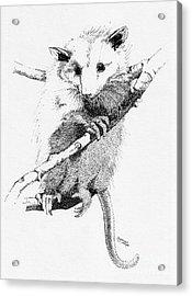 Possum Up A Tree Acrylic Print