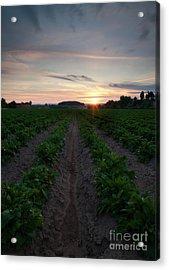 Potato Field Sunset Acrylic Print