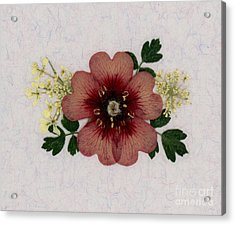 Potentilla And Queen-ann's-lace Pressed Flower Arrangement Acrylic Print