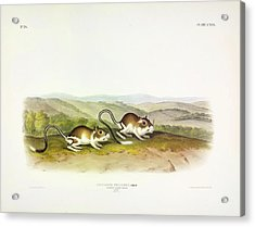 Pouched Jerboa Mouse Acrylic Print