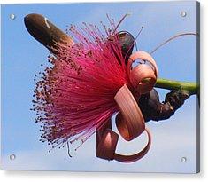 Powder Puff Blossom Acrylic Print
