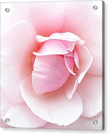 Powder Puff Rose Acrylic Print by Florene Welebny