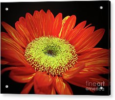 Prado Red Sunflower Acrylic Print