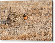 Acrylic Print featuring the photograph Prairie Chicken 10-2015 by Thomas Young