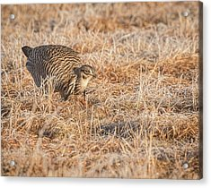 Acrylic Print featuring the photograph Prairie Chicken 11-2015 by Thomas Young