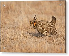 Acrylic Print featuring the photograph Prairie Chicken 8-2015 by Thomas Young