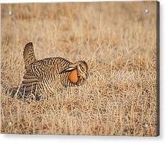 Acrylic Print featuring the photograph Prairie Chicken 9-2015 by Thomas Young