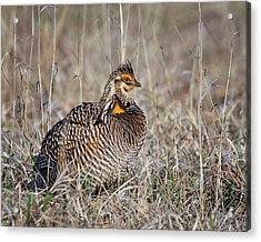 Acrylic Print featuring the photograph Prairie Chicken - Portrait by Nikolyn McDonald