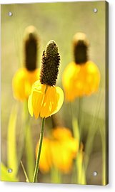 Prairie Coneflower In Morning Light Acrylic Print