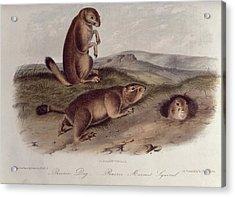 Prairie Dog Acrylic Print by John James Audubon