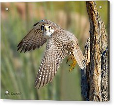 Prairie Falcon Taking Flight Acrylic Print