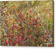 Prairie Rosehips Acrylic Print