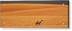 Prairie Storm And Ducks Canada Acrylic Print by Mark Duffy