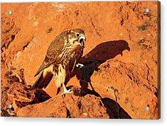 Prarie Falcon Acrylic Print by Dennis Hammer