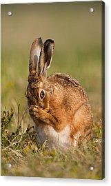 Praying Hare Acrylic Print