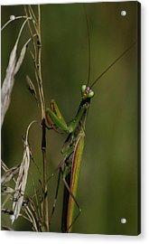 Praying Mantis 2 Acrylic Print