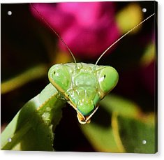 Praying Mantis Eyes Macro Acrylic Print