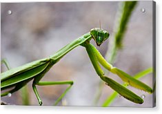 Praying Mantis Looking Acrylic Print