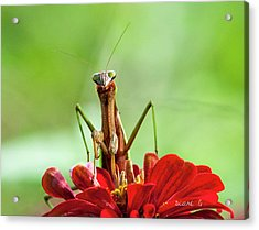 Praying Mantis On Zinnia Acrylic Print