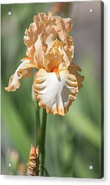 Precious Halo. The Beauty Of Irises Acrylic Print by Jenny Rainbow