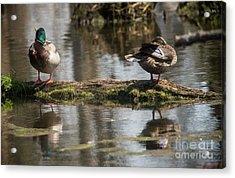 Acrylic Print featuring the photograph Preening Ducks by David Bearden