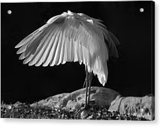 Preening Great Egret By H H Photography Of Florida Acrylic Print by HH Photography of Florida