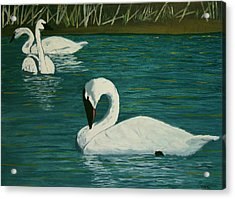 Preening Swans Acrylic Print by Robert Tower