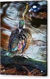 Preening Wood Duck Hen Acrylic Print by Bill Tiepelman