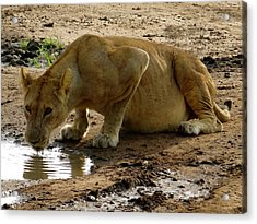 Pregnant Lioness Drinking At Puddle Acrylic Print