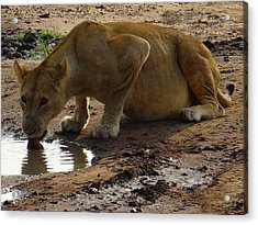 Pregnant Lioness Drinking With Tongue Acrylic Print